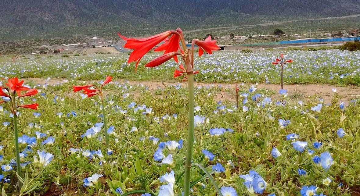 Flor Roja en Tour Desierto Florido Costero 2020