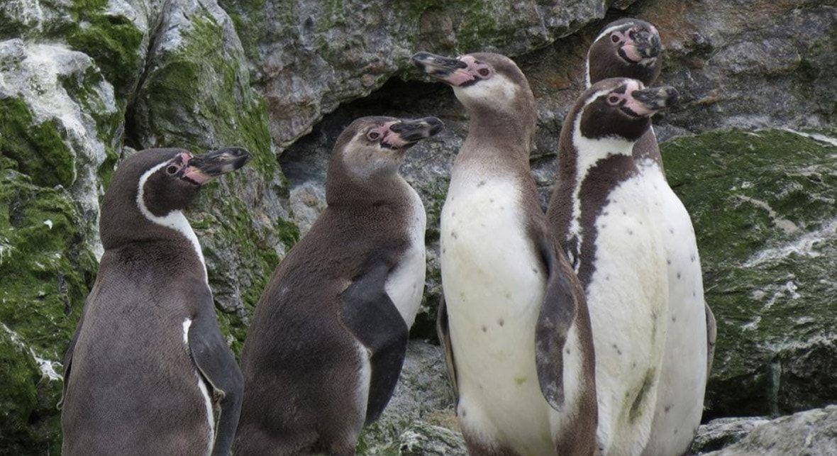 Tour Isla Damas: Pingüino de Humboldt